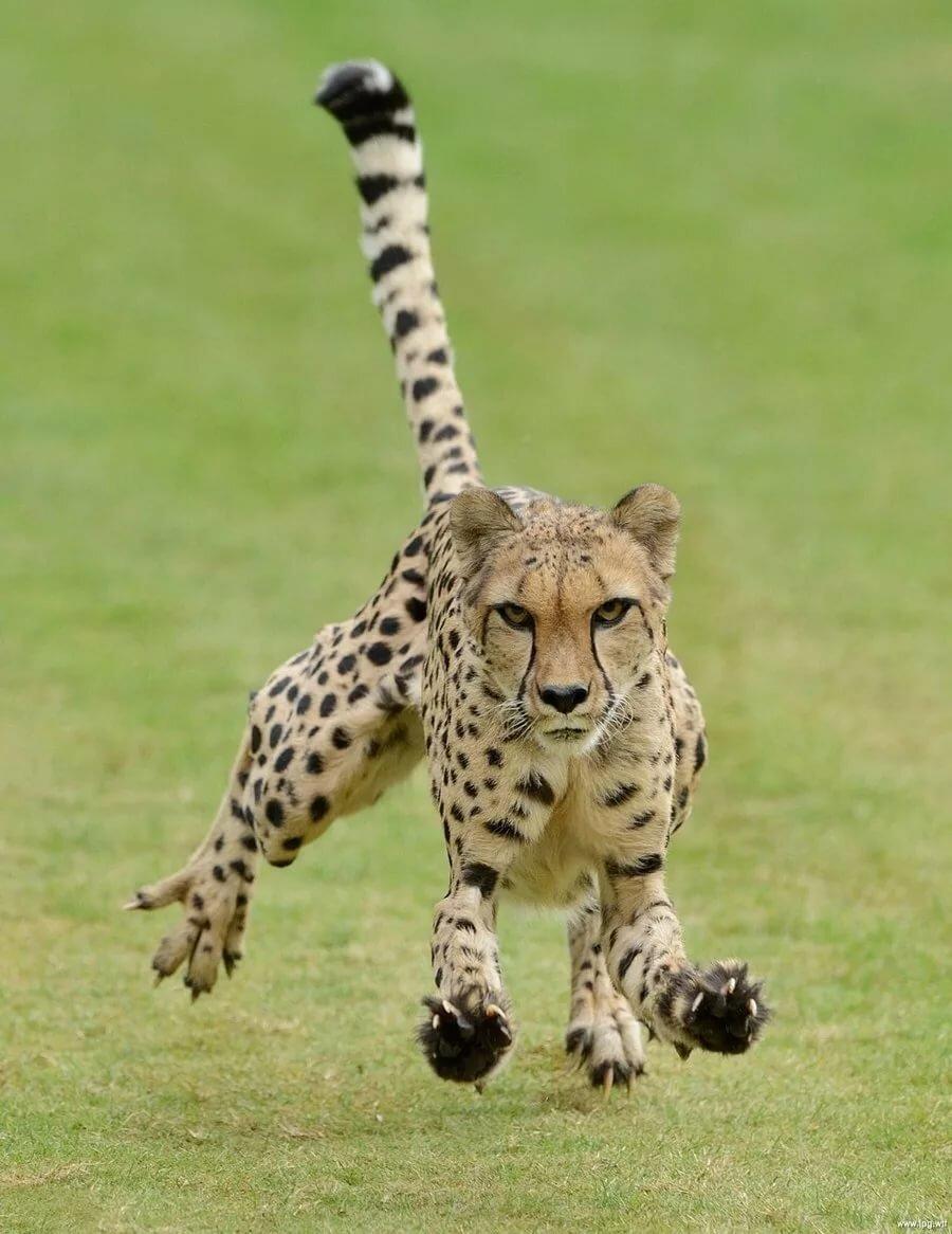 Прикольные картинки гепардов