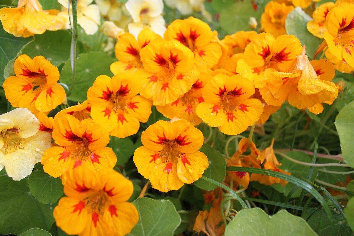 Цветы настурция выращивание фото