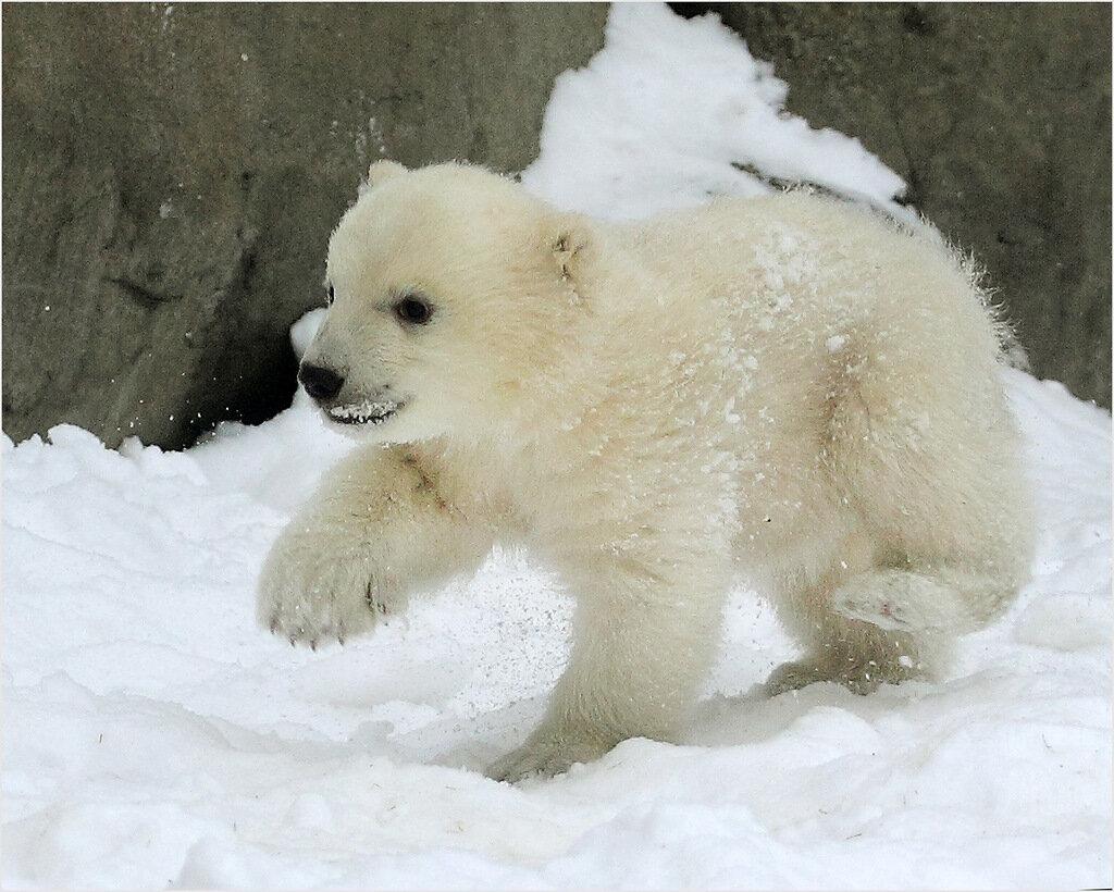белые медвежата фото уроки
