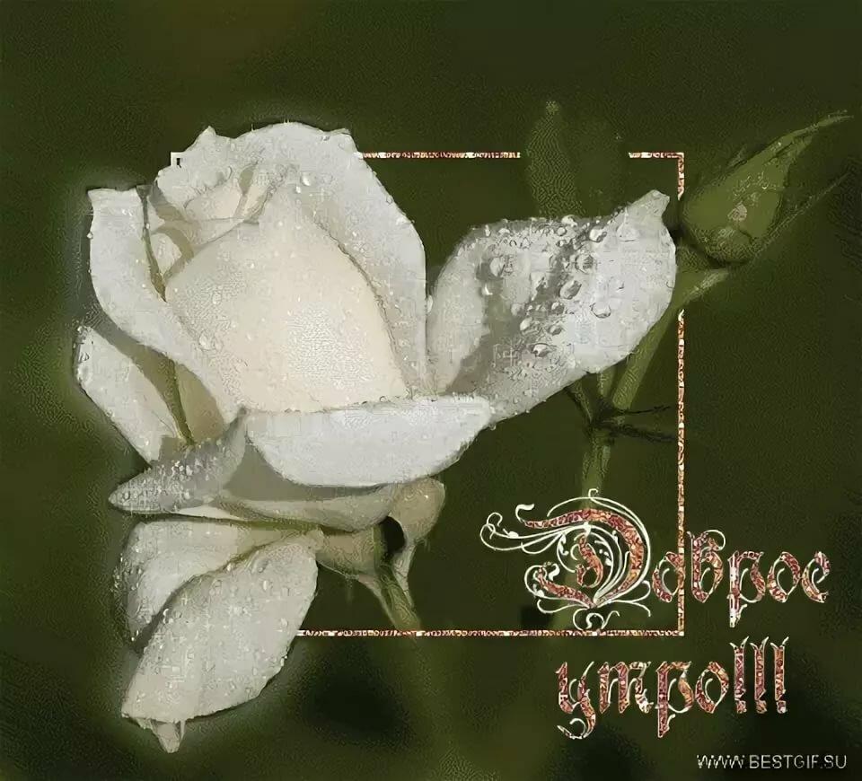 Открытки доброе утро роза