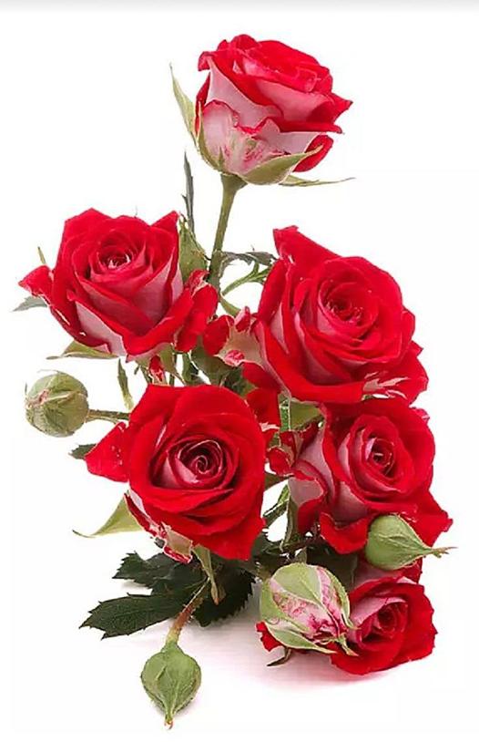 Открытка розы на белом фоне, нет уже