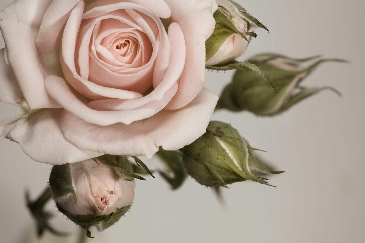 róża randkowa wrzosiec wzrosła