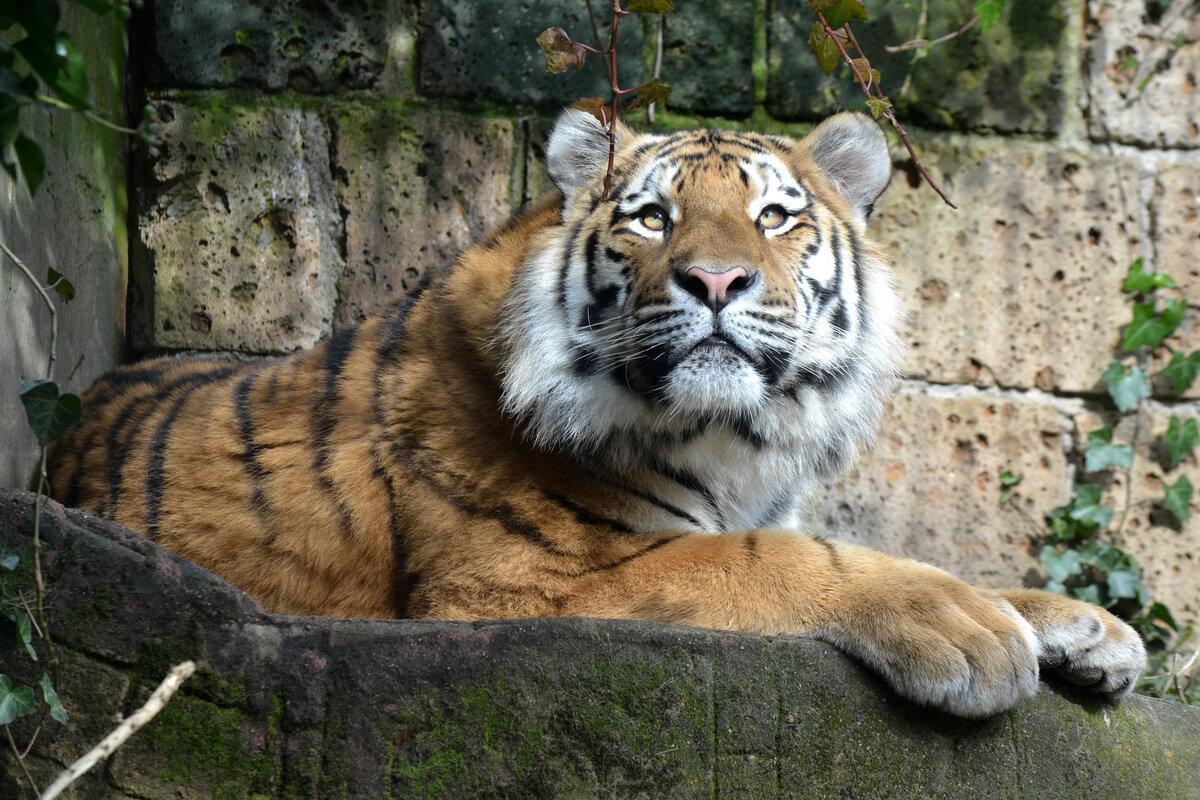 тигр картинки фотографии рамках моего
