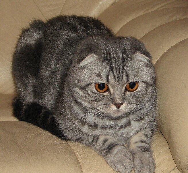 вислоухий шотландский кот фотографии тип может