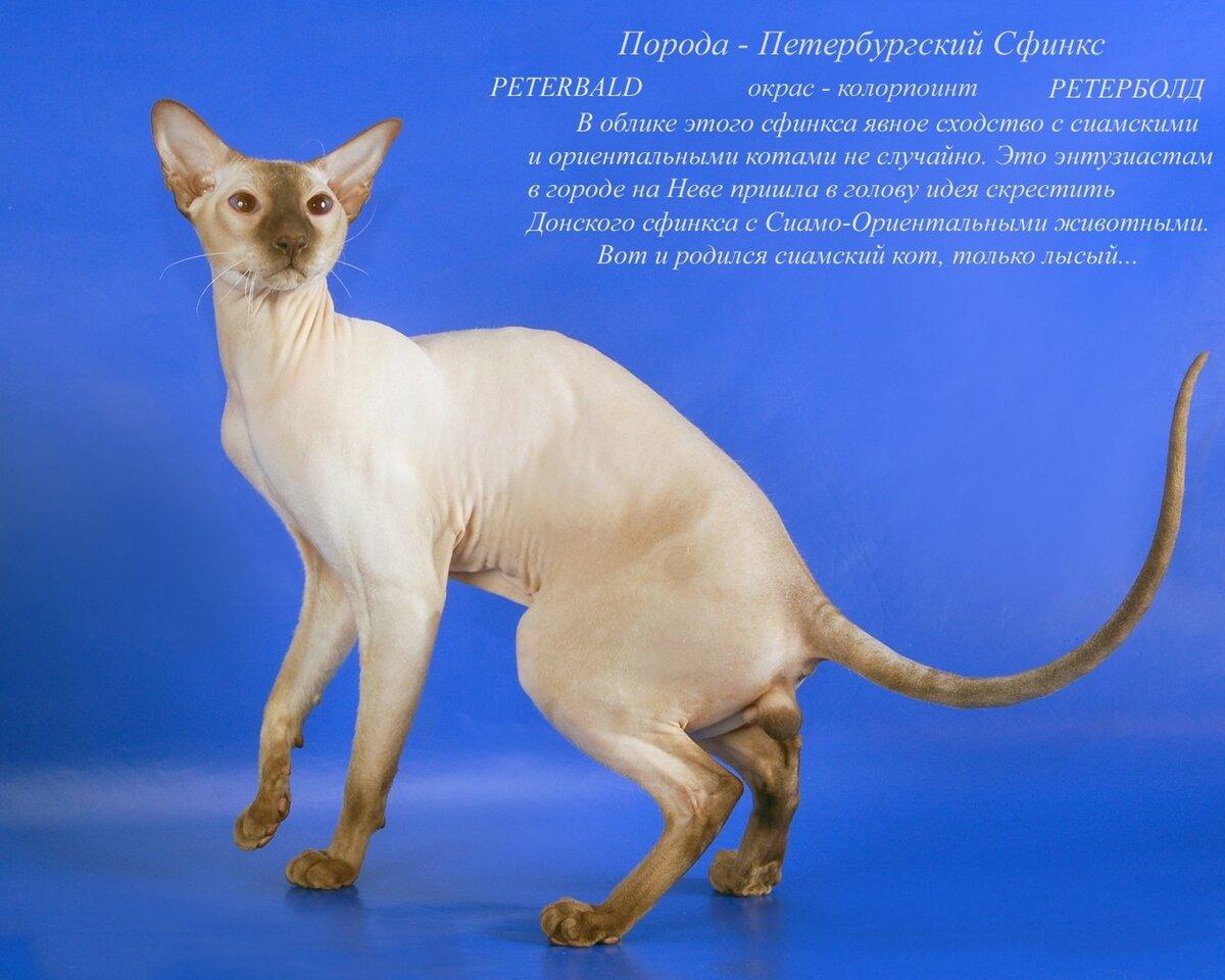 Поздравления поле, картинки пород кошек с надписями