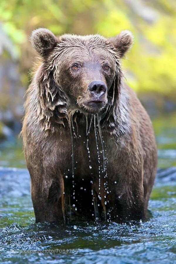 картинки мокрый медведь сегодня сми