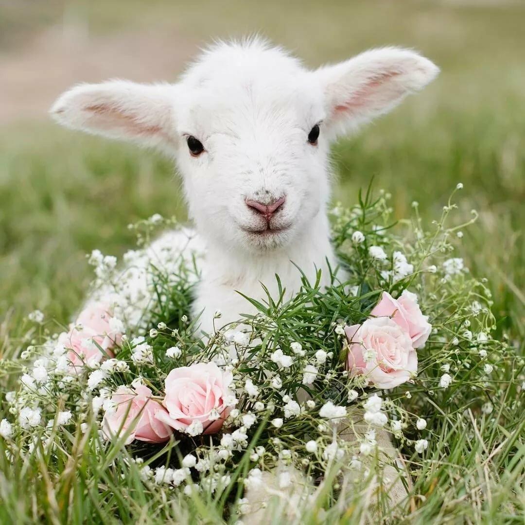 Картинка овечка с козой
