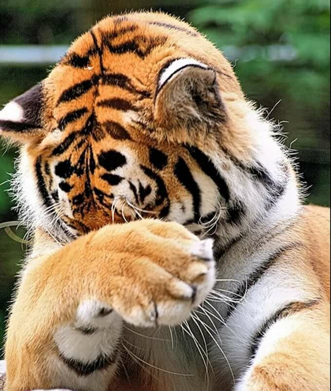 Смешные картинки с тигром и надписями, картинки марта женщинам
