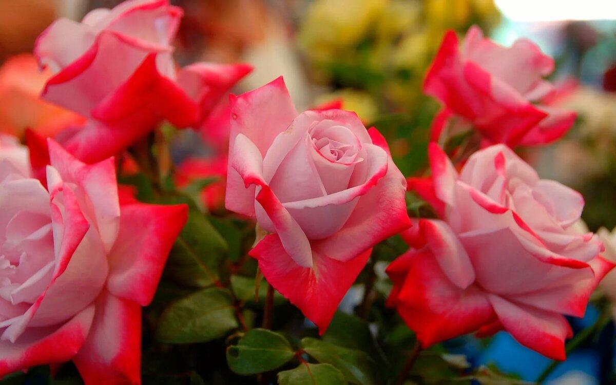 Цветок, картинки роз на рабочий стол