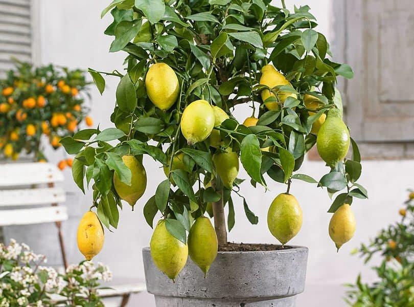 Лимонное дерево: уход в домашних условиях, фото
