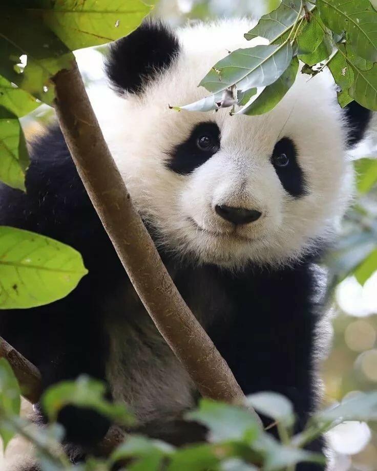 Панда прикольные картинки