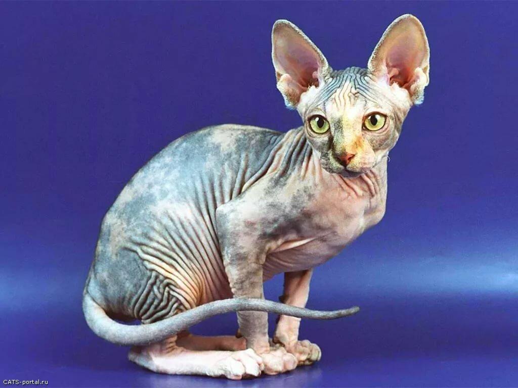 Картинки кошек порода сфинкс