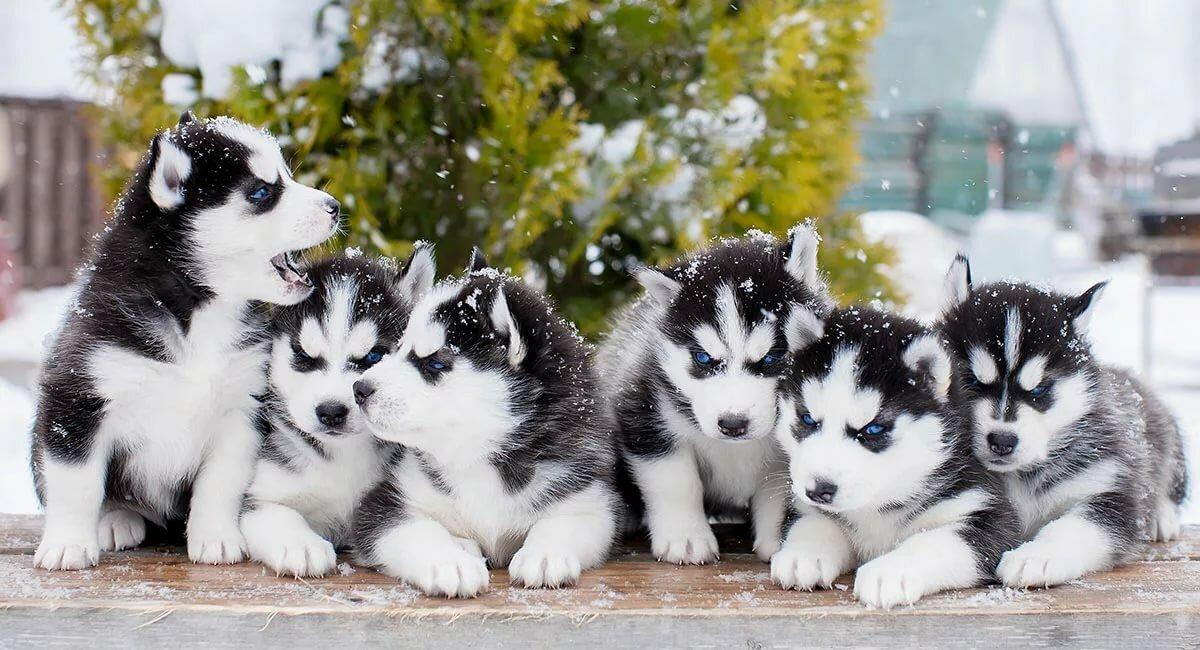 Картинки собак хаски щенки и взрослых