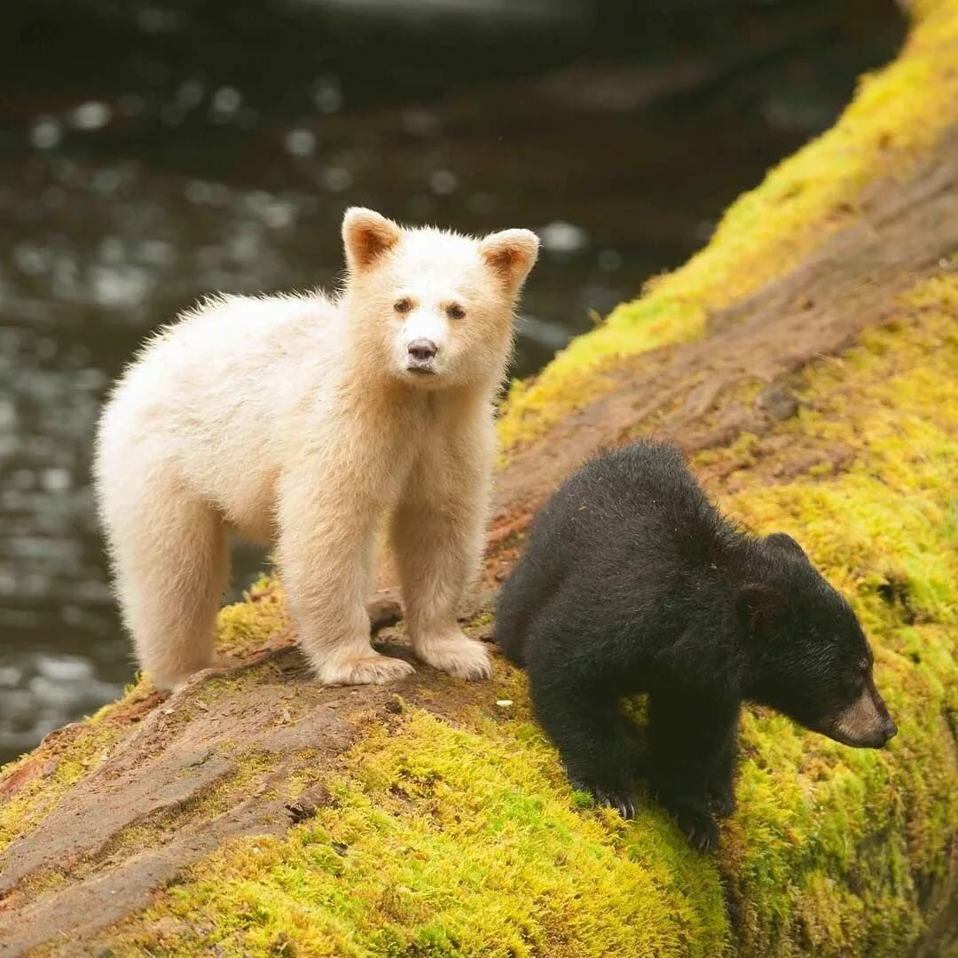 керамическую детеныши белого и бурого медведя фото местных