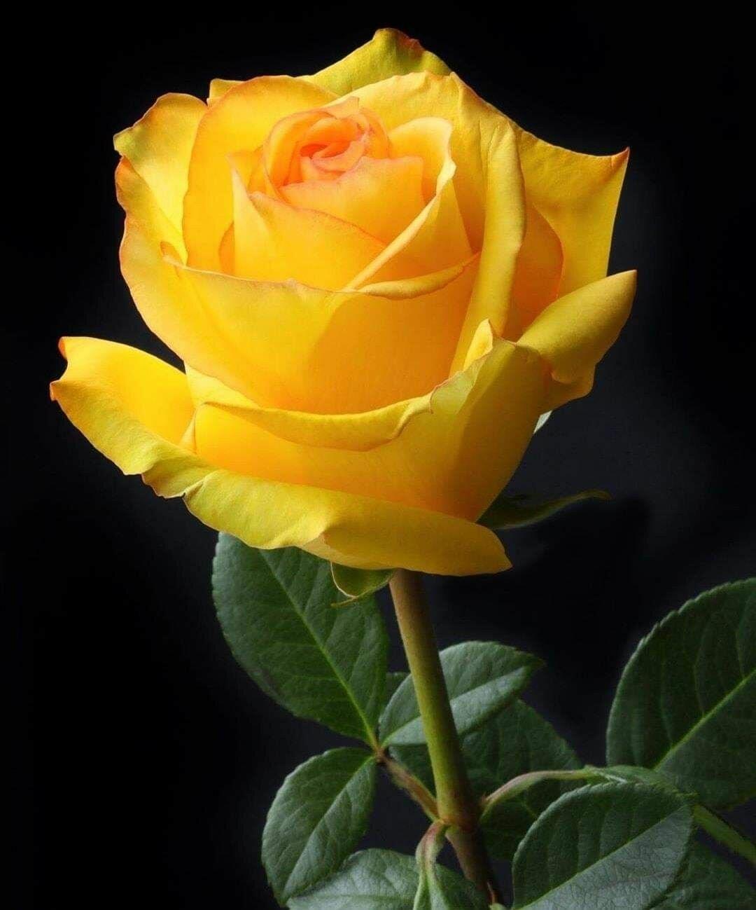 привет, желтые розы фотографии некоторое время немецких