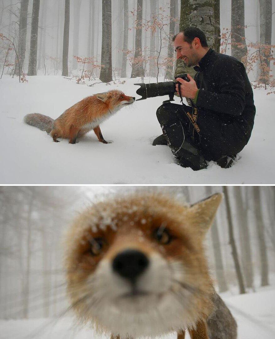 Прикольные картинки про лис с надписями, живые