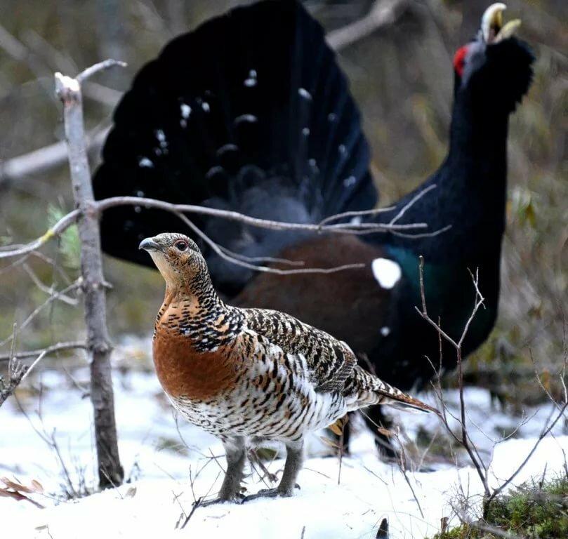 тетерев фото птицы самка и самец большое вячеславу