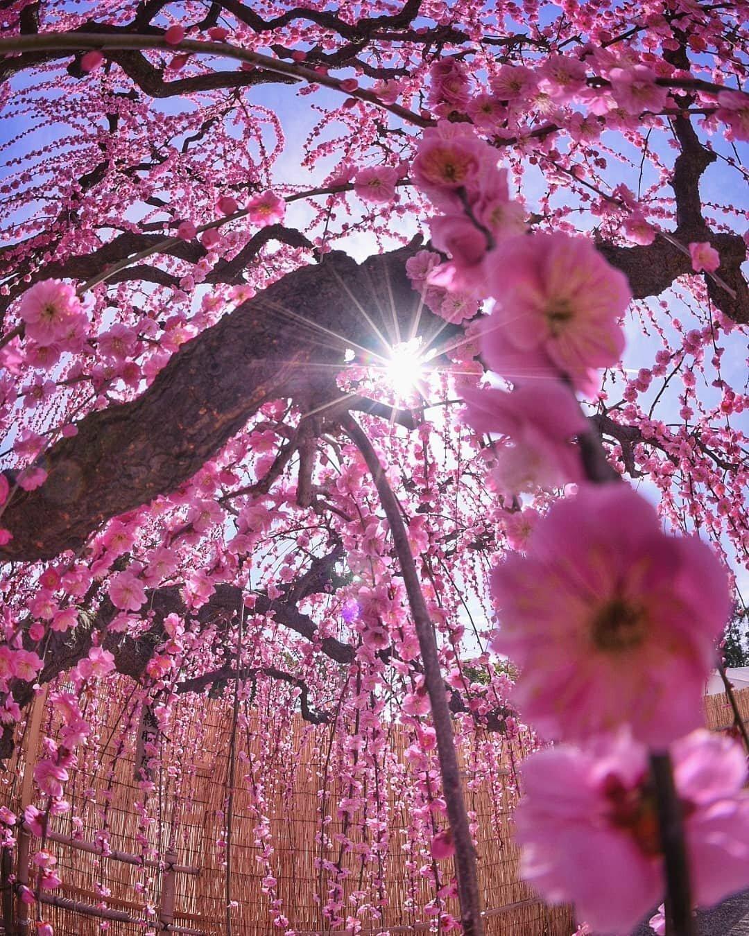 Картинки цветы сакуры красивые, рисунок