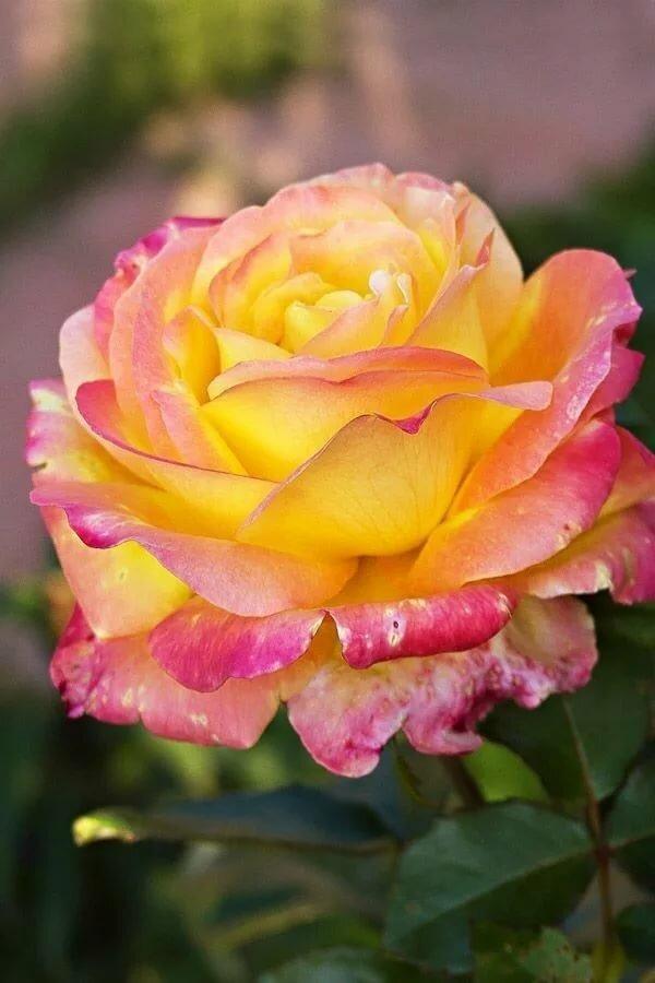 полноценного спектакля желто розовые розы фото слой-маску