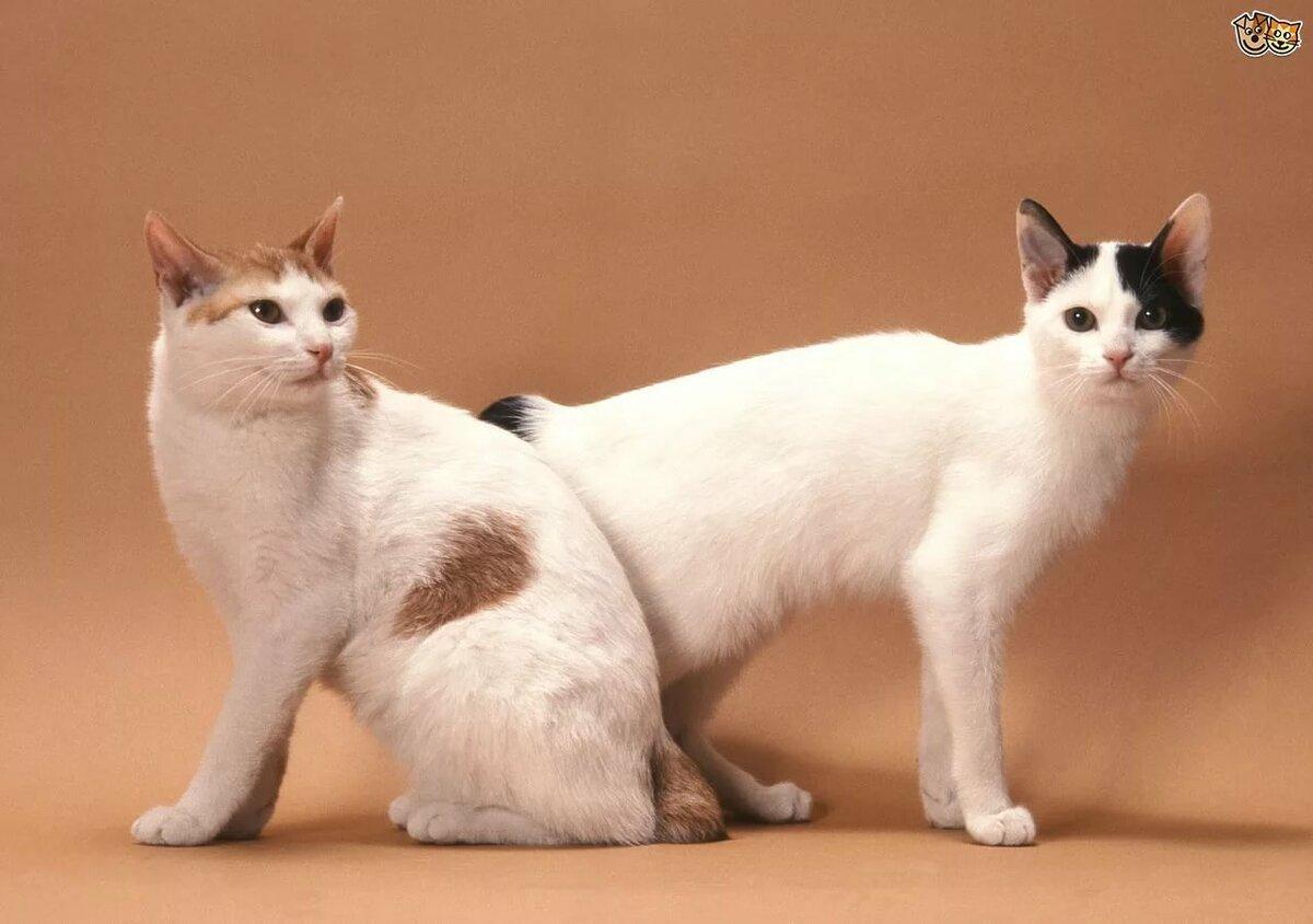 картинки кошки японский бобтейл