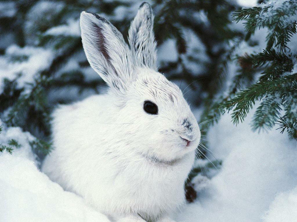 Обои на рабочий стол зайцы зимой в лесу