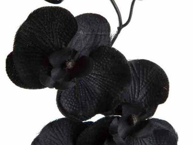 Купить цветок черная орхидея
