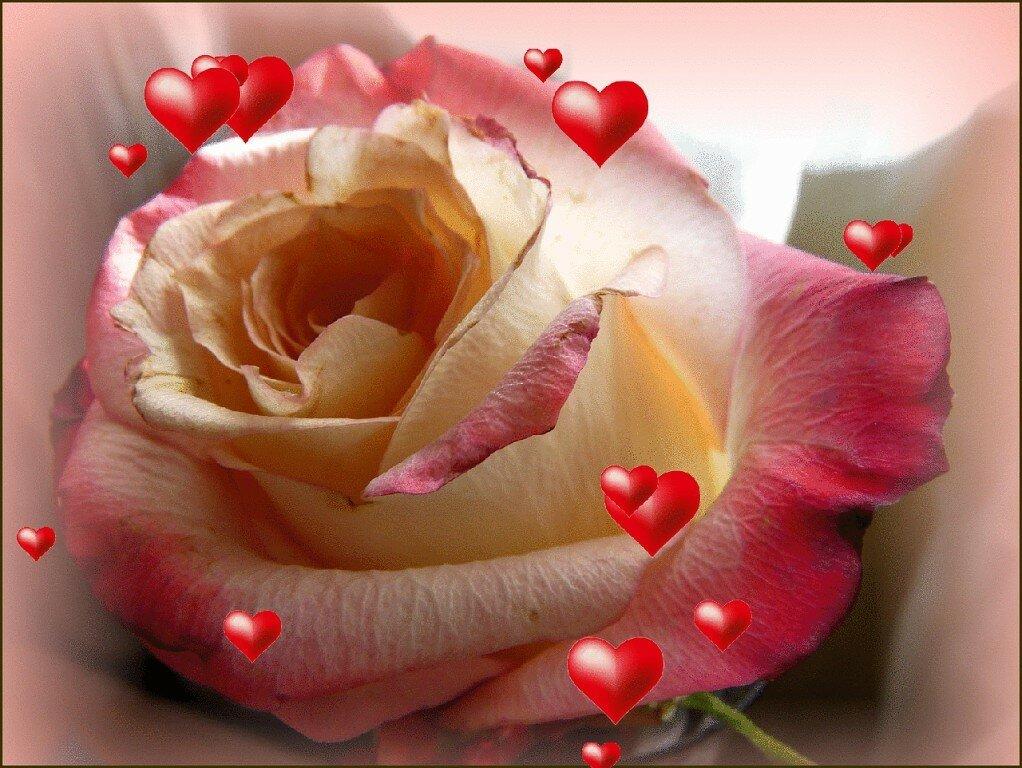 красивые картинки розы любим человеку восторге