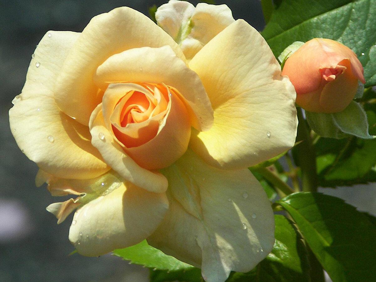чайные розы показать картинки плавными чертами