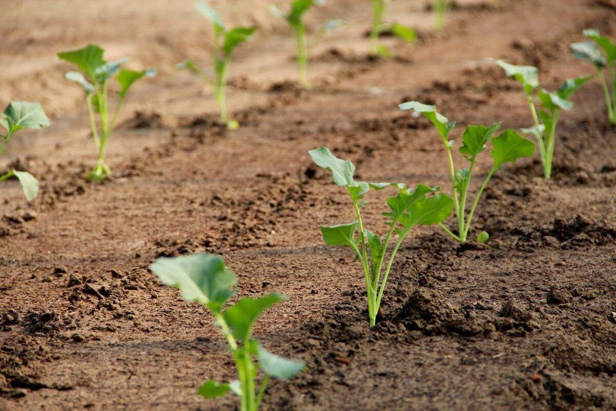 Капуста белокочанная: выращивание и уход в открытом грунте
