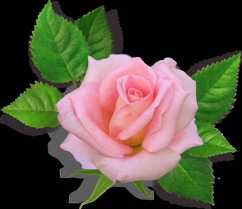 Розы открытка пнг
