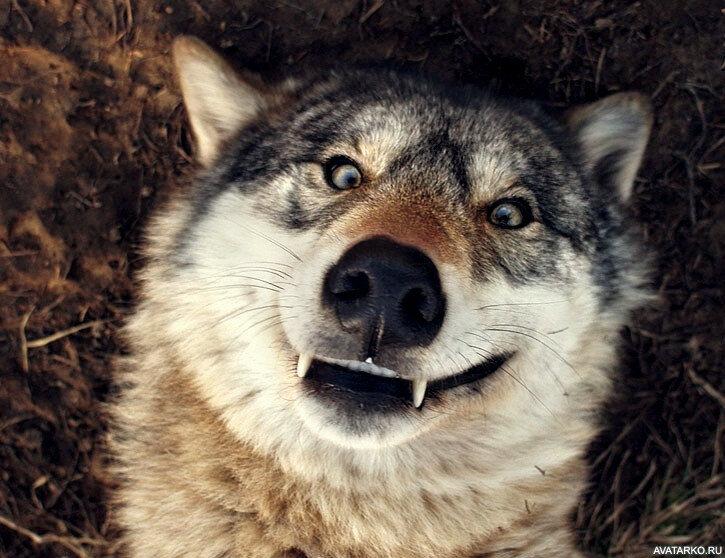Самые смешные картинки волков