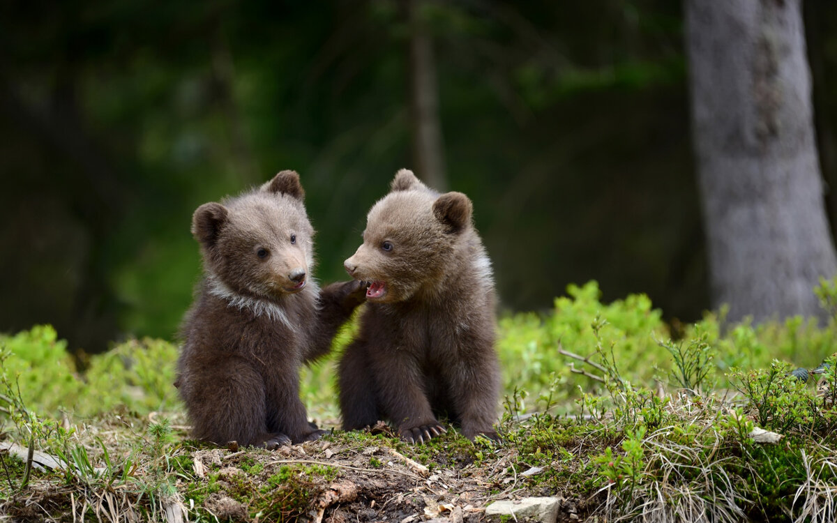 Медвежата в картинках
