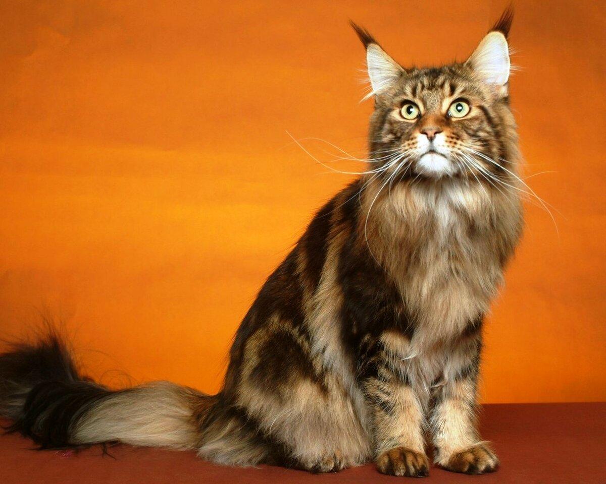 кошки с кисточками на ушах фото недорогих цене, дорогих