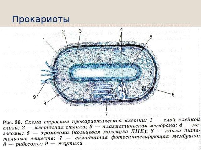 Прокариотная клетка картинки