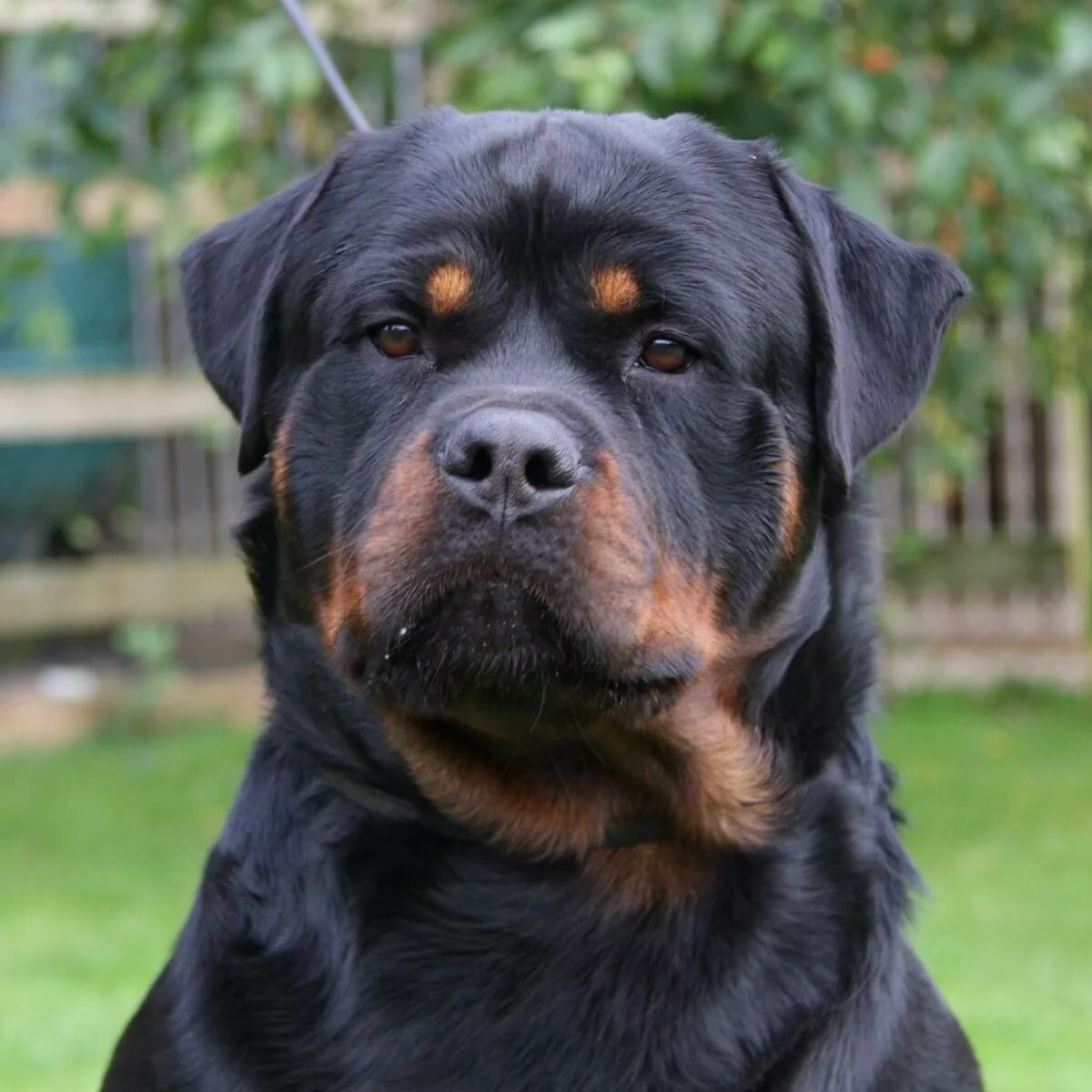 rottweiler dogs for sale - HD 1200×1200