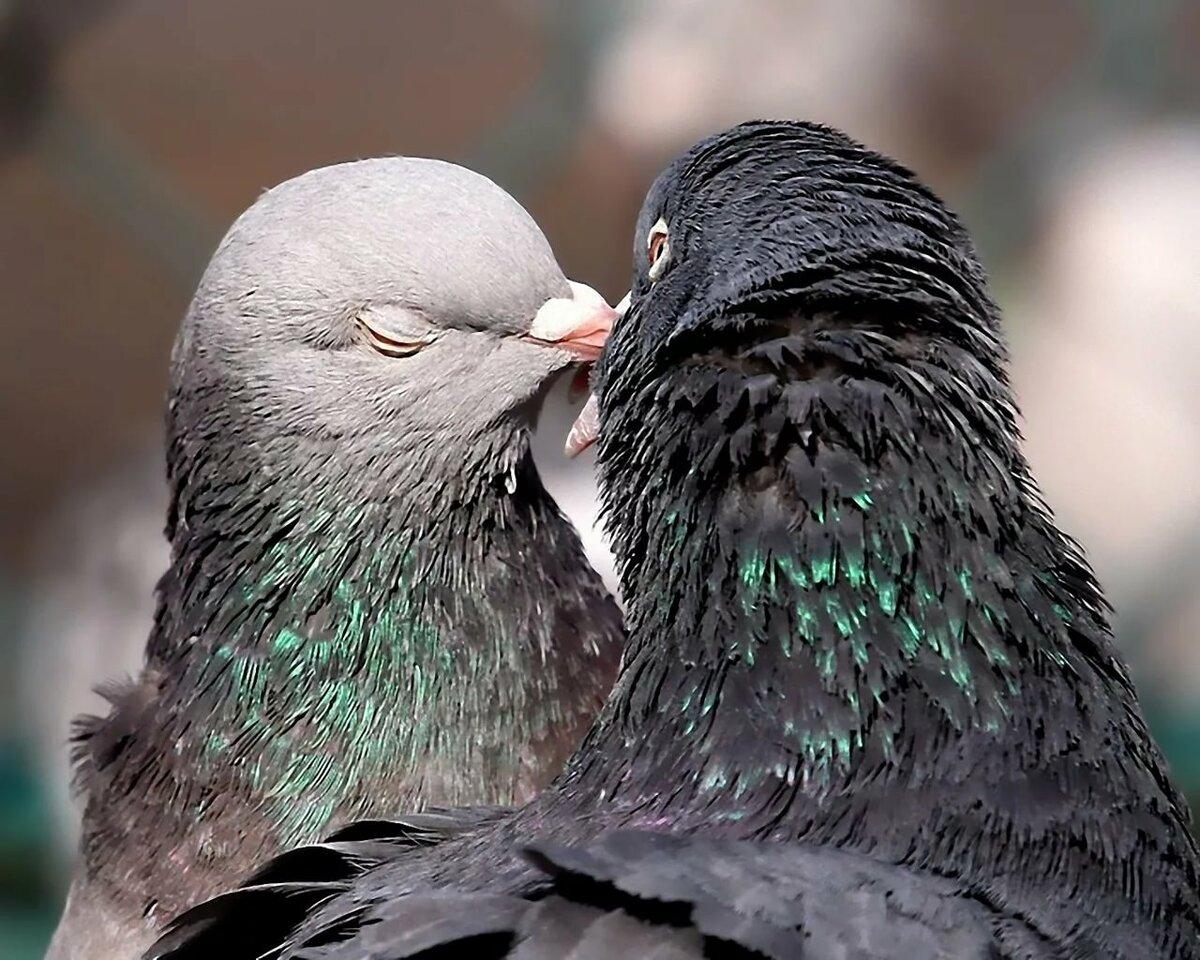 Целующиеся голуби картинки