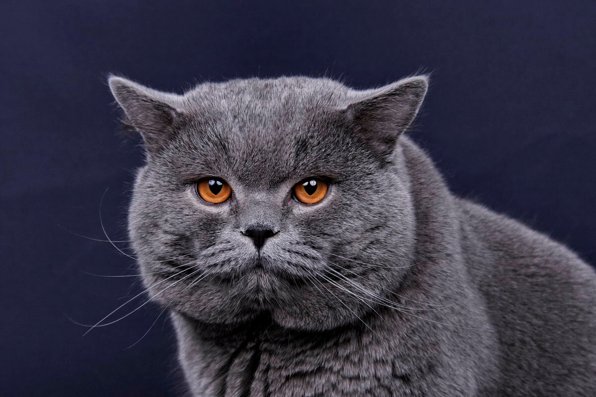 продукты помогут картинки красивых кошек британец интернет-магазине хаусдорф