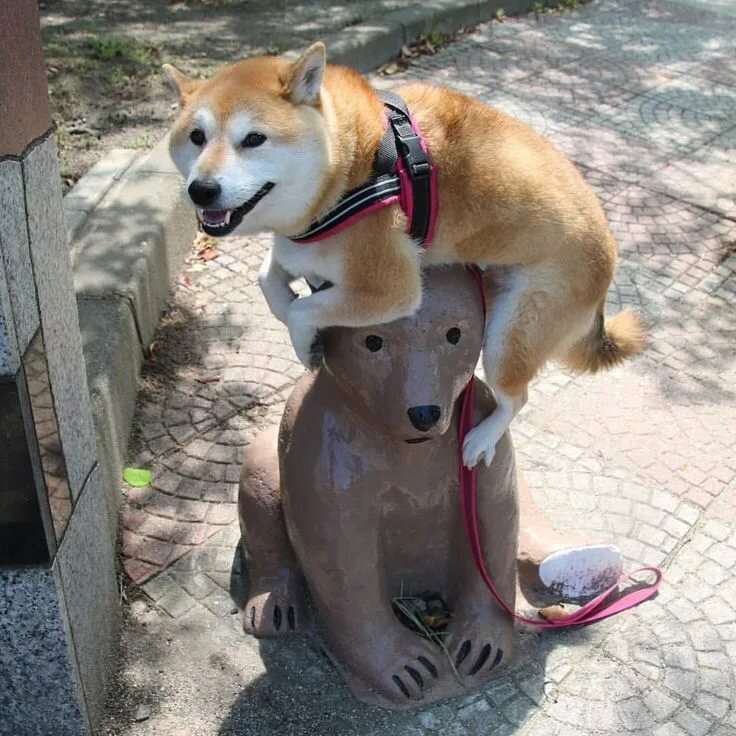 Рисунок, смешные картинки с собаками акита ину