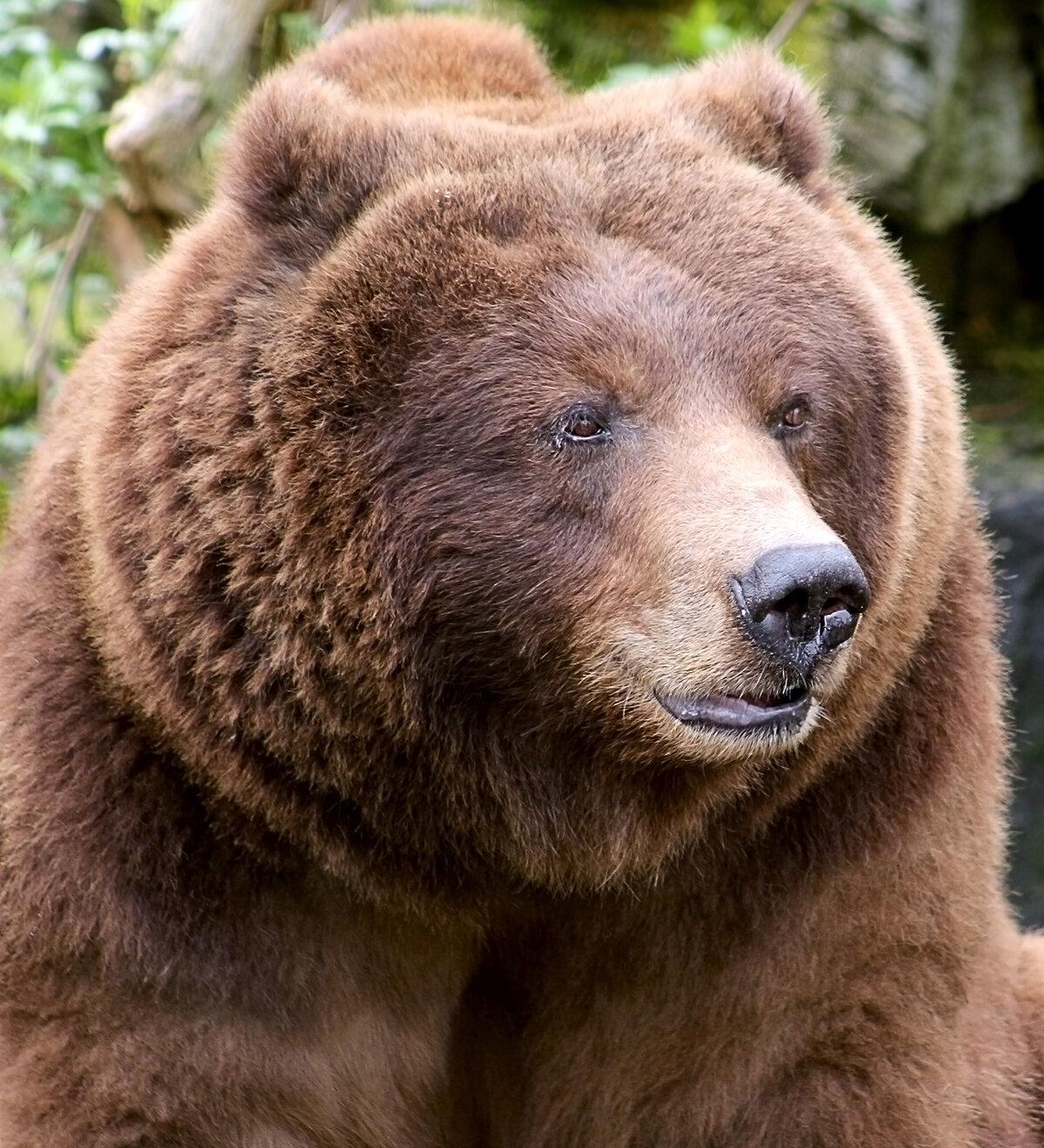 имели ухо медведя картинка него скорая приедет