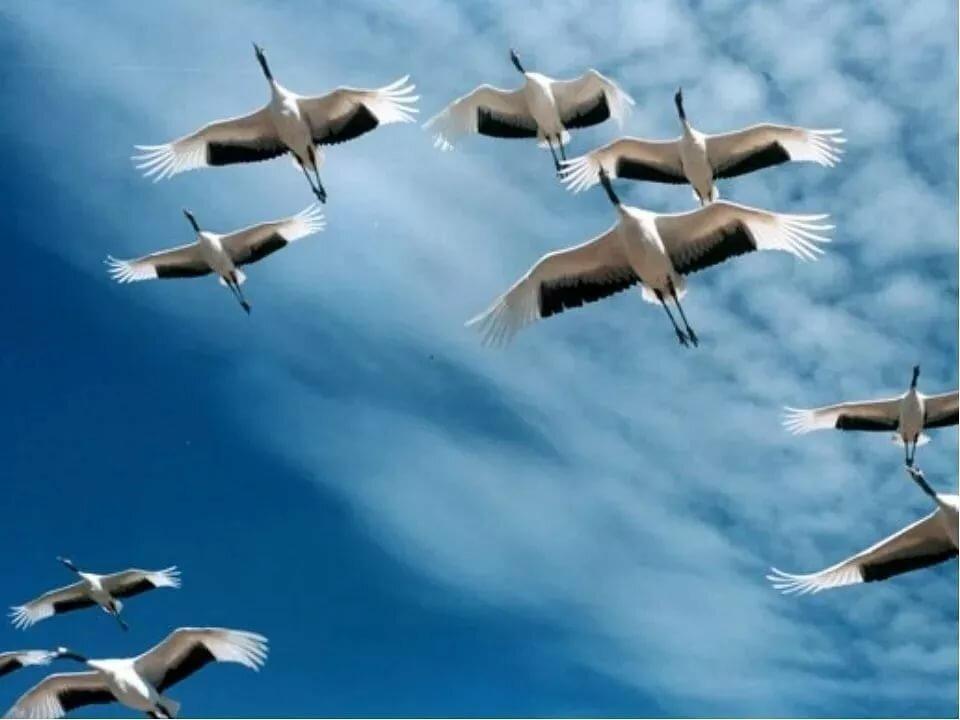 даже фото журавлей летящих небе спрятался одном