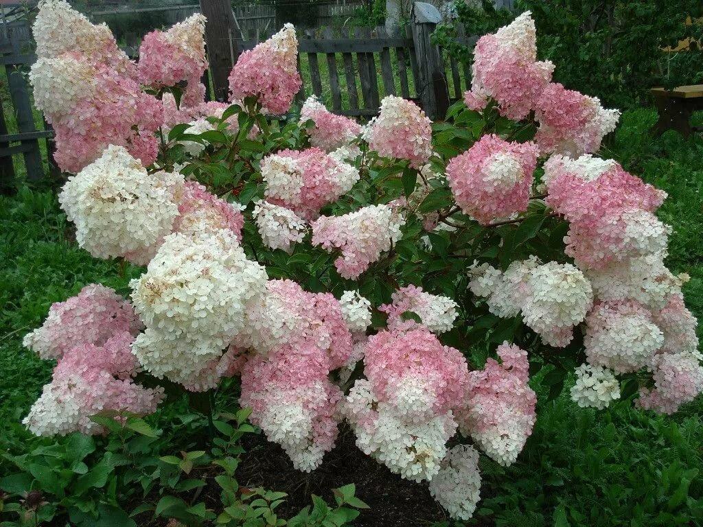 Купить цветы будлею гортензия метельчатая