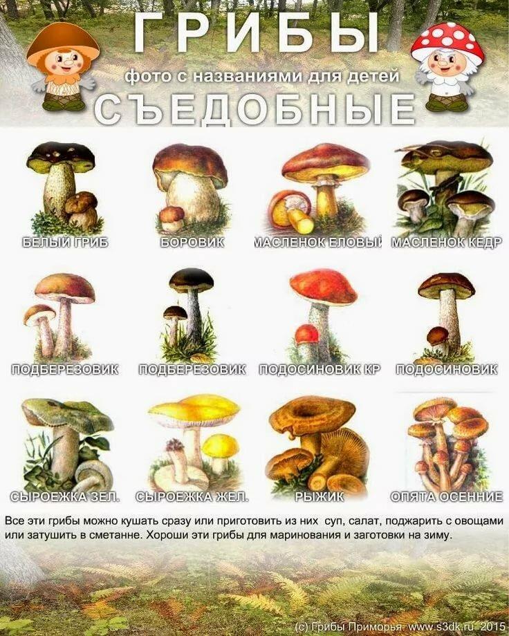 грибы с картинками фото грибов с названиями описание информация элементы, представленные