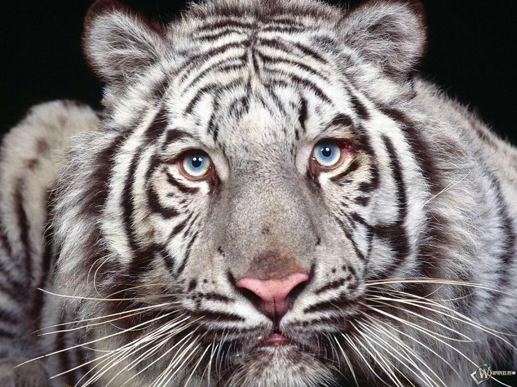 Анимации для, картинки белый тигренок с голубыми глазами