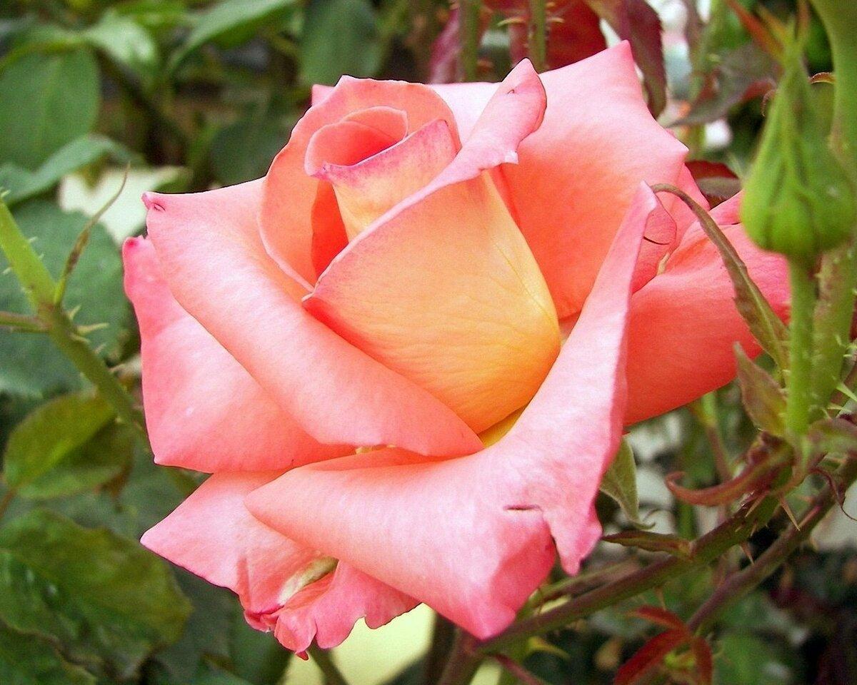 если разные розы фотографии могут научить