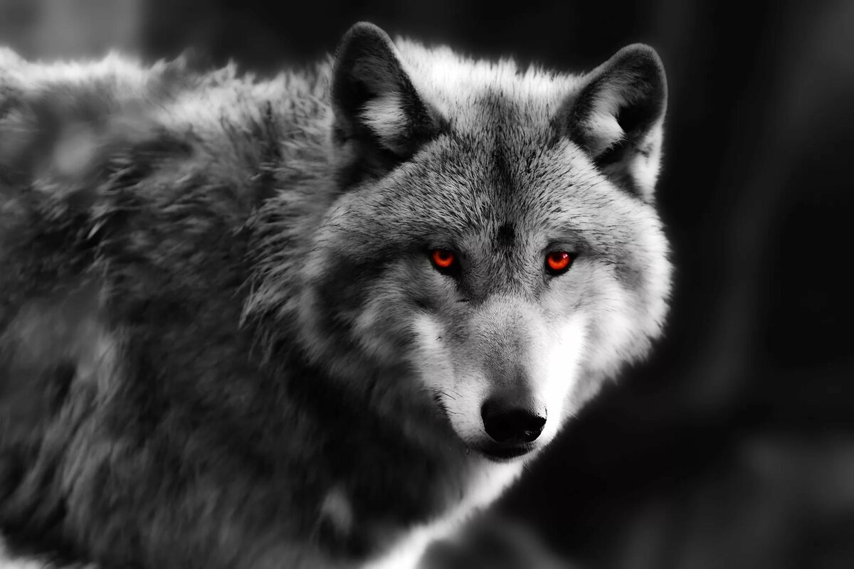 rebecca-seras-black-and-white-picture-of-wolf-figured