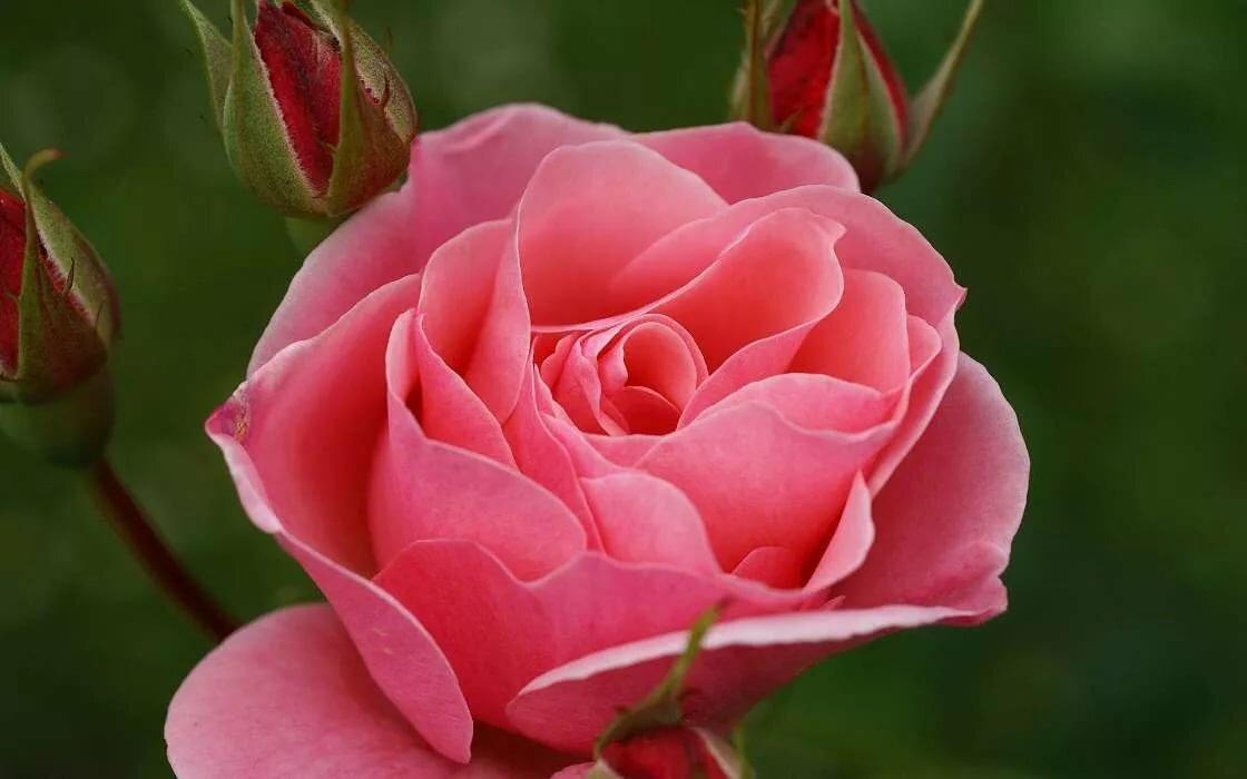 Смотреть открытки крупные розы, года день