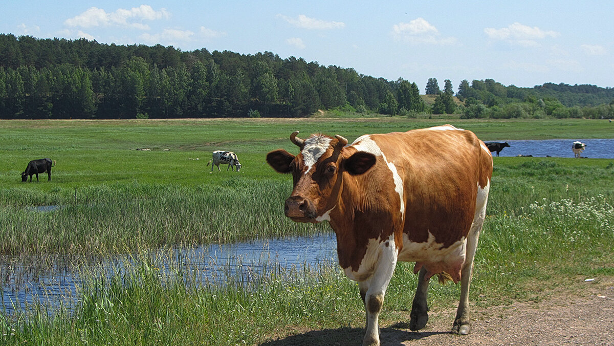 фотографии коров на лугу