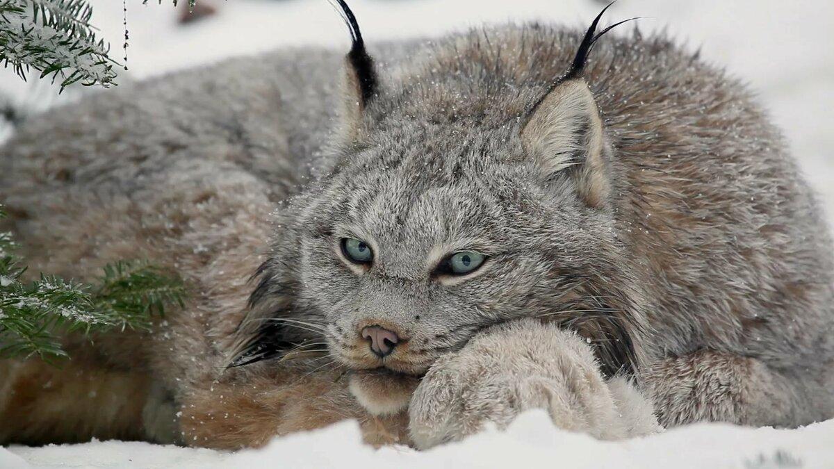 Картинки фоны медведя волка рыси