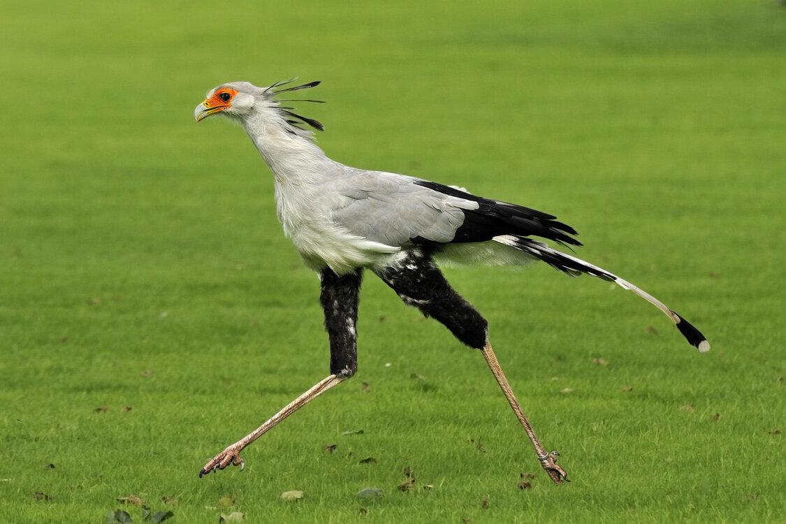 Птица секретарь фото