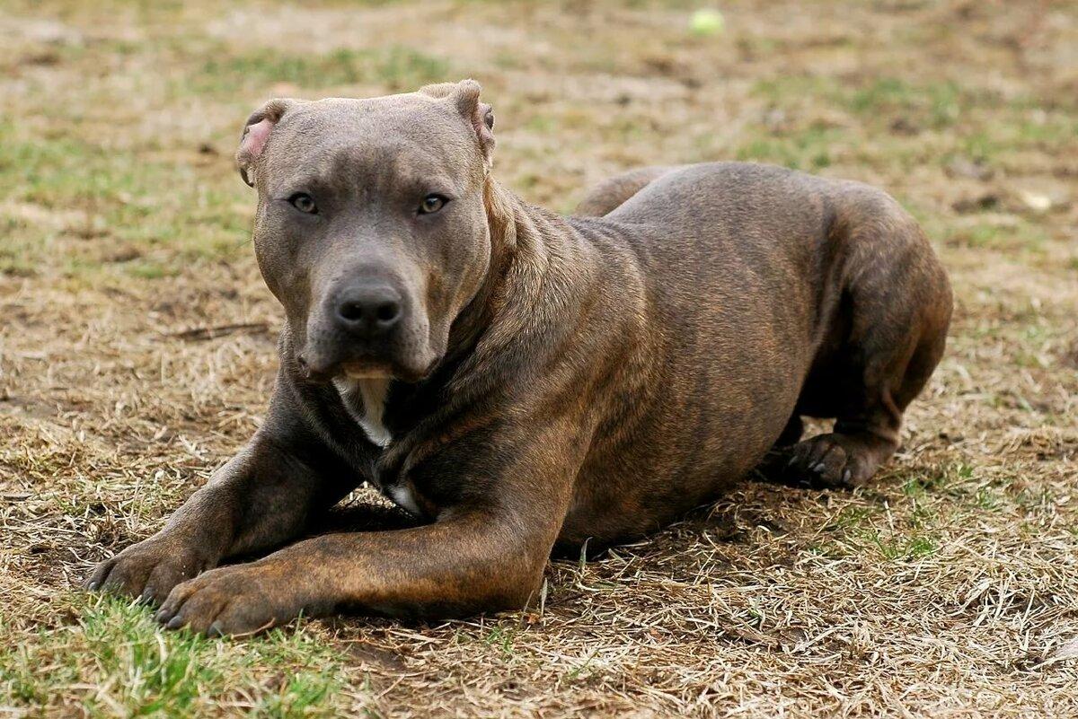 Боевые собаки фото и породы